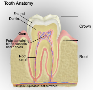 Parts Of Your Tooth
